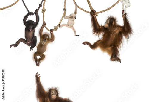 Foto op Canvas Aap Young Orangutan, young Pileated Gibbon and young Bonobo hanging