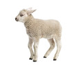 canvas print picture - Lamb (8 weeks old) isolated on white