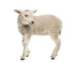 Lamb (8 weeks old) isolated on white - 72990486