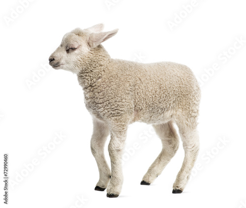 canvas print picture Lamb (8 weeks old) isolated on white