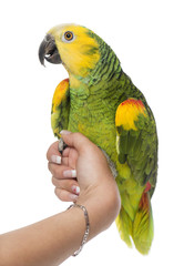 Parrot perched on a hand