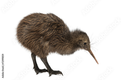 North Island Brown Kiwi, Apteryx mantelli, 3 months old - 72991859