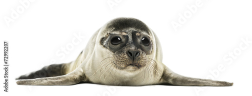 canvas print picture Common seal pup, isolated on white