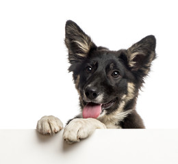 Border collie leaning on a white board