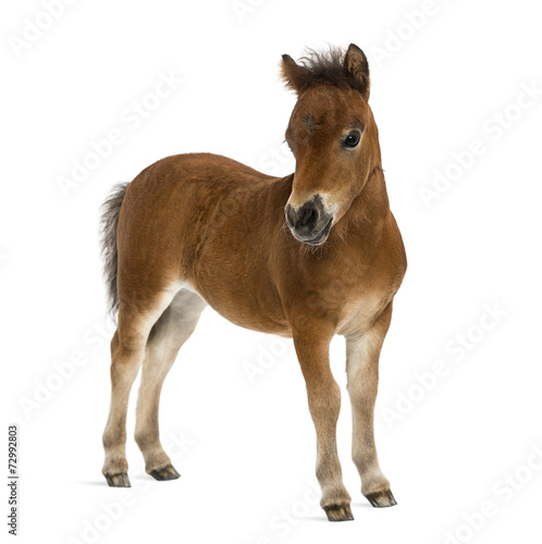 Poster Paarden shetland foal - 1 month old