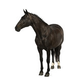 Fototapeta belgian sport horse (sBs) - 25 years old