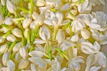 Group of white  jasmine