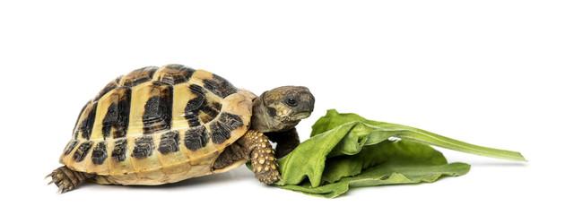 Hermann's tortoise eating salad, isolated on white