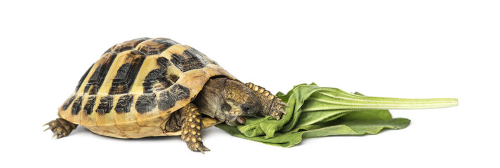 Hermann's tortoise eating salad, isolated on white