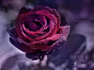rose close-up