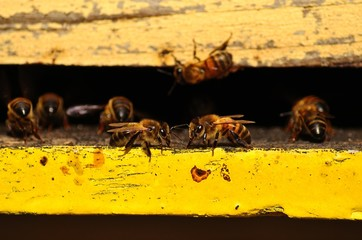 Several bees at the entrance of the hive