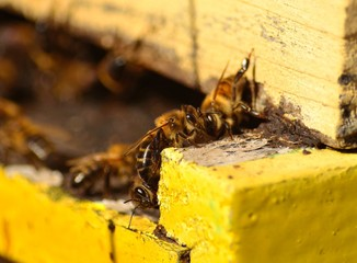 Bee walking outside the hive