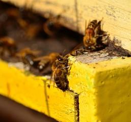 Bee walking around the hive