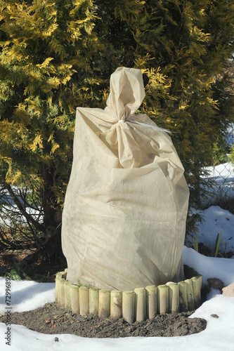 roses  bush wound by spunbond round against the winter frost - 72996892
