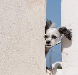 Dog at Santorini, Greece