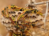 Swarm of wasps around the nest