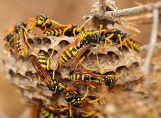 Swarm of wasps around the nest