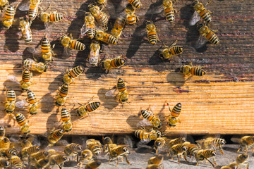 Apiculture - Bees
