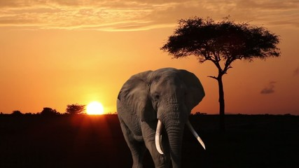 Elephant close-up is on the savannah at dawn.
