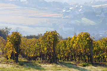 Vigne et raisin du layon