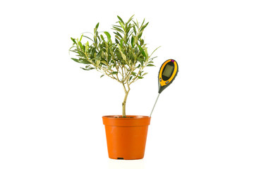 olive tree in a pot with a moisture meter
