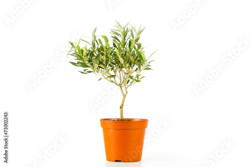 Tuinposter Olijfboom olive tree in a pot