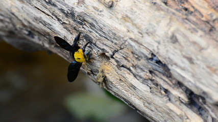 Carpenter bee in the nature, flying come in the nest. HD