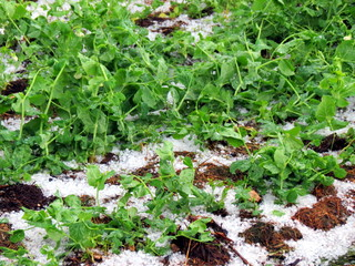 Vegetables (peas) destroyed by hail
