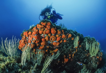 Tunisia, Tabarka, diver, white gorgonians and parazoanthus