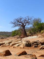 Affenbrotbaum ausgetrockneten Flussbett Barai Tansania