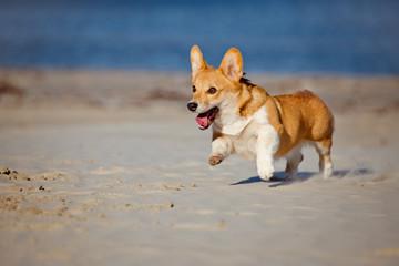 welsh corgi pembroke puppy running on a beach
