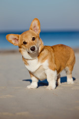 adorable red welsh corgi pembroke dog stanging on the beach