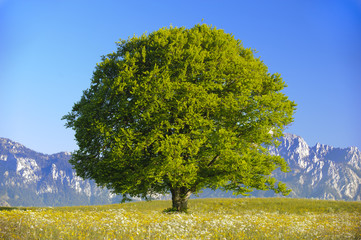 single big old beech tree at alps mountains in Bavaria