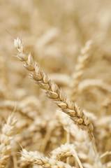 Weizenähre vor unscharfem Getreidefeld als Hintergrund