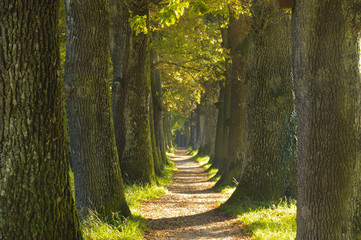oak tree alley at spring with small path