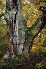 Alte Bäume im Nationalpark Reinhardswald