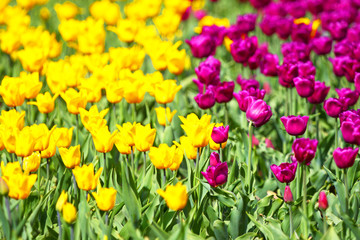 Field of tulips. Abstract background.