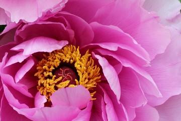 Pink peony - Closeup