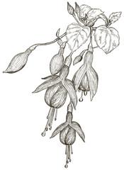 Vector Sketch of fuchsia flowers
