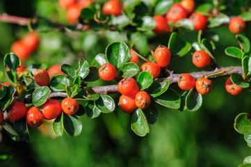 Cotoneaster Bush