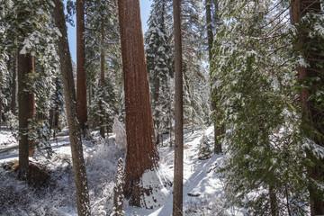 Giants Sequoias II