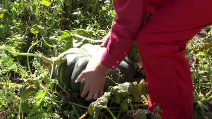 gardener farmer in autumn harvesting big green pumpkin