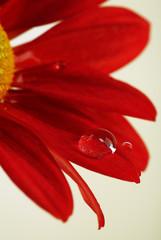 Water drop on red flower on dark background