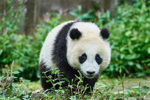 Papiers peints Panda Panda bear cub playing Sichuan China