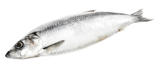 Fresh herring fish isolated on white