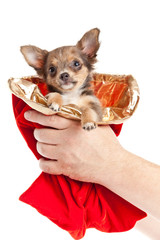 Merry Christmas and Happy New Year.  chihuahua dog