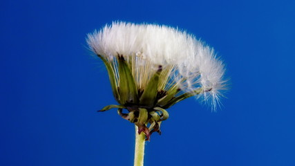 Opening dandelion on blue background. Time Lapse