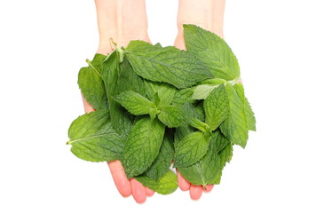 Branch of fresh green mint in hand