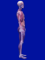 Skeleton X-Ray with Muscles and Internal Organs