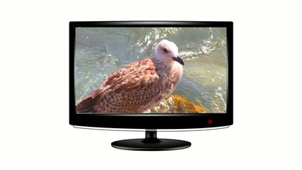 Seagull on a flat screen monitor